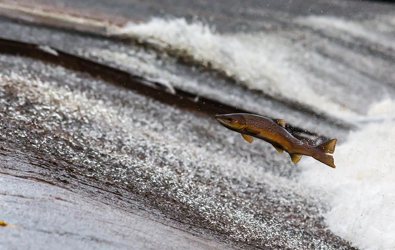 Manger sainement grâce au saumon bio