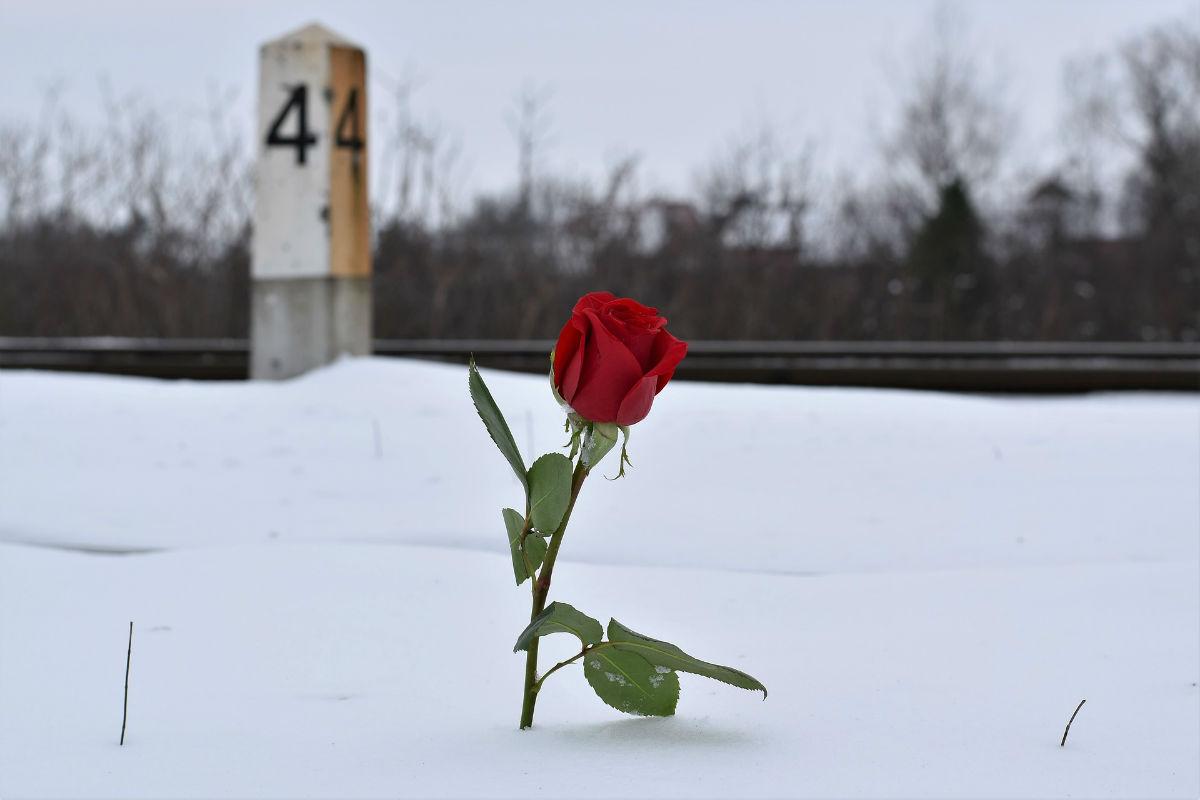 Rose éternelle : le cadeau naturel pour la vie